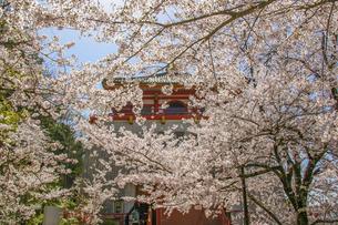 仏堂を覆い隠す満開の桜の写真素材 [FYI04804549]