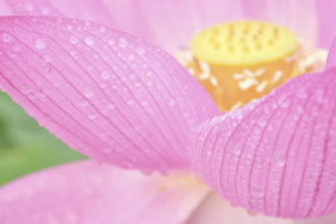 蓮の花と水玉 満開 夏景色の写真素材 [FYI04804568]