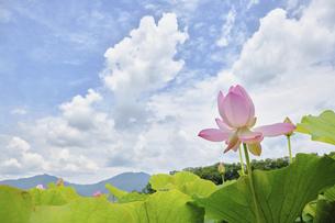 蓮の花 満開 青空の写真素材 [FYI04804635]