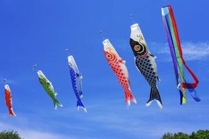 春の青空を背景に、ユラユラと泳ぐ伝統的な鯉のぼりの写真素材 [FYI04804665]