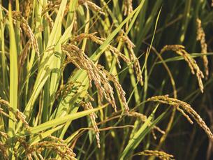 【秋】米の稲穂が実る様子 農業の写真素材 [FYI04804688]