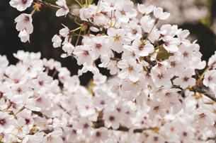 【春】ソメイヨシノの桜の花が満開になる自然風景の写真素材 [FYI04804696]