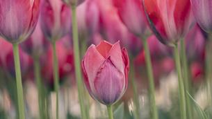 【春】赤いチューリップの花の写真素材 [FYI04804697]
