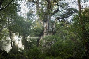 縄文杉と光芒の写真素材 [FYI04804702]