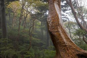 屋久島のヒメシャラの森の写真素材 [FYI04804703]
