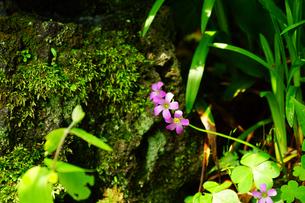 長谷寺に咲くオキザリスの写真素材 [FYI04804761]