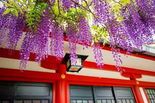 日枝神社の藤の花の写真素材 [FYI04804771]