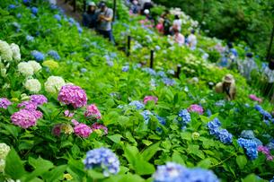 鎌倉長谷寺の紫陽花の写真素材 [FYI04804782]