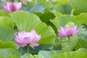 ハスの花の写真素材 [FYI04804887]