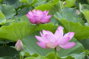 ハスの花の写真素材 [FYI04804888]