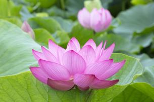 ハスの花の写真素材 [FYI04804889]