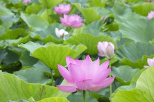 ハスの花の写真素材 [FYI04804890]