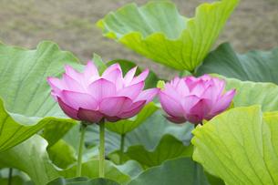 ハスの花の写真素材 [FYI04804894]