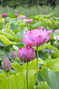 ハスの花の写真素材 [FYI04804898]