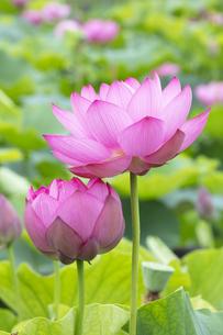 ハスの花の写真素材 [FYI04804899]