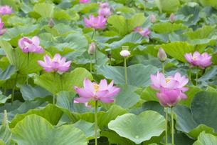 ハスの花の写真素材 [FYI04804901]