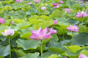 ハスの花の写真素材 [FYI04804902]