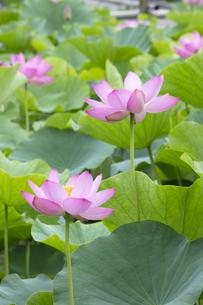 ハスの花の写真素材 [FYI04804903]
