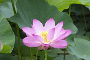 ハスの花の写真素材 [FYI04804915]