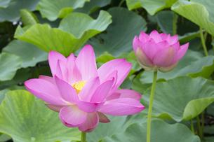 ハスの花の写真素材 [FYI04804916]