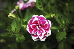 インパチェンス・カルフォルニアローズの花の写真素材 [FYI04805163]