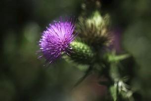 アメリカオニアザミの花の写真素材 [FYI04805164]