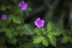 薬草・ゲンノショウコの花の写真素材 [FYI04805165]