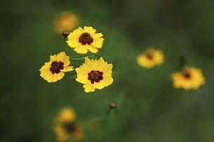 コレオプシスの黄色い花の写真素材 [FYI04805169]