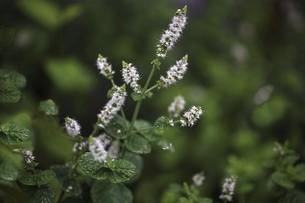 ハーブ・ペパーミントの白い花の写真素材 [FYI04805170]