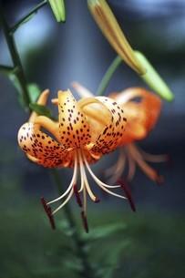 山野草・オニユリの花の写真素材 [FYI04805171]