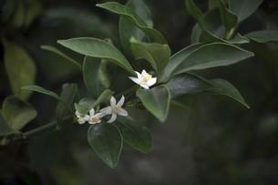 キンカンの白い花の写真素材 [FYI04805174]