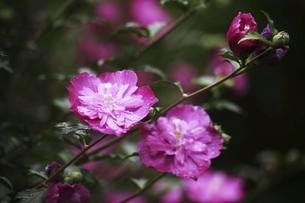 小雨に咲くムクゲの花の写真素材 [FYI04805176]