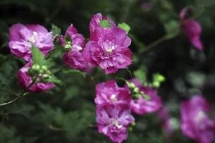 小雨に咲くムクゲの花の写真素材 [FYI04805177]