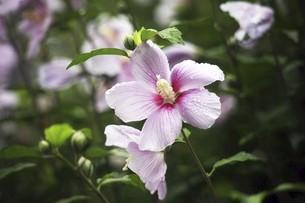 小雨に咲くムクゲの花の写真素材 [FYI04805178]
