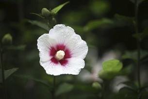 雨上りに咲くムクゲの花の写真素材 [FYI04805188]