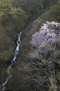 渓流が流れる谷間に咲くサクラの木の写真素材 [FYI04805206]