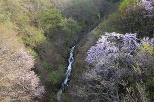 渓流が流れる谷間に咲くサクラの木の写真素材 [FYI04805207]