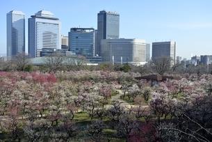 大坂城梅林,梅の花と大阪ビジネスパークの写真素材 [FYI04805226]