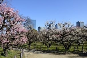 大阪城梅林,梅の花と大阪ビジネスパークの写真素材 [FYI04805228]