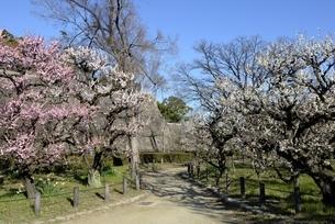 大阪城梅林,青空と梅の花の写真素材 [FYI04805229]