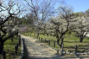 大阪城梅林,青空と梅の花の写真素材 [FYI04805230]