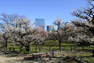 大阪城梅林,梅の花と大阪ビジネスパークの写真素材 [FYI04805231]
