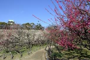 大阪城梅林,梅の花と大阪城天守閣の写真素材 [FYI04805232]