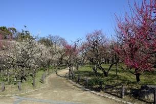 大阪城梅林,青空と梅の花の写真素材 [FYI04805233]