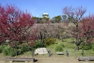 大阪城梅林,梅の花と大阪城天守閣の写真素材 [FYI04805235]