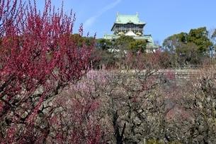 大阪城梅林,梅の花と大阪城天守閣の写真素材 [FYI04805236]
