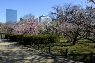 大阪城梅林,梅の花と大阪ビジネスパークの写真素材 [FYI04805238]