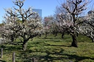 大阪城梅林,青空と梅の花庭園の写真素材 [FYI04805239]