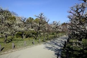 大阪城梅林,青空と梅の花並木の写真素材 [FYI04805240]