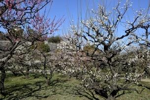大阪城梅林,梅の花の庭園の写真素材 [FYI04805242]
